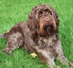 Labradoodle Cora