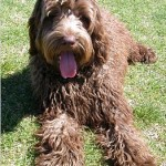 Labradoodle_Brown